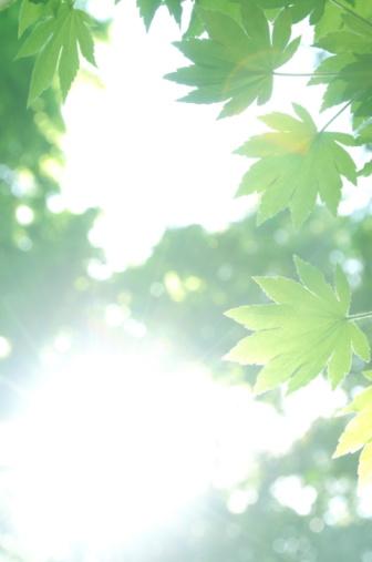 Japanese Maple「Japanese maple tree in spring, Kanagawa Prefecture, Honshu, Japan」:スマホ壁紙(2)