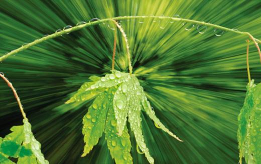 Japanese Maple「Japanese maple leaves (Acer palmatum) with dew drops, (composite)」:スマホ壁紙(18)