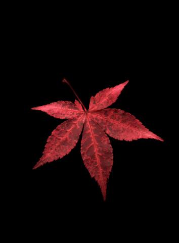 Japanese Maple「Japanese Maple leaf against black background」:スマホ壁紙(5)