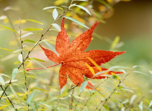 Japanese Maple「Japanese Maple (Acer palmatum) leaf resting in grass」:スマホ壁紙(1)
