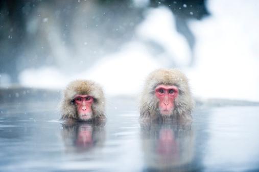 Hot Spring「Japanese Macaques」:スマホ壁紙(16)
