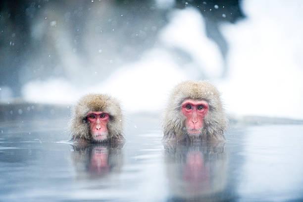 Japanese Macaques:スマホ壁紙(壁紙.com)