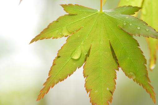 Japanese Maple「Japanese maple leaf and dew drops」:スマホ壁紙(4)
