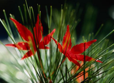 Japanese Maple「Japanese Maple (Acer palmatum) leaves resting in pine needles」:スマホ壁紙(0)