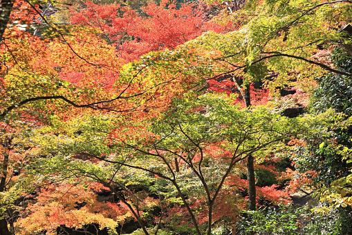 落葉樹「Japanese maple in autumn」:スマホ壁紙(0)