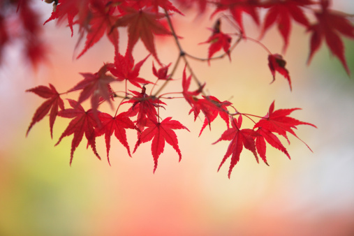 Japanese Maple「Japanese maple in autumn」:スマホ壁紙(12)