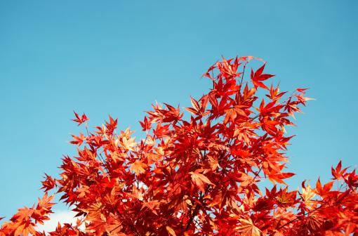 Japanese Maple「Japanese maple (Acer palmatum) in autumn」:スマホ壁紙(19)