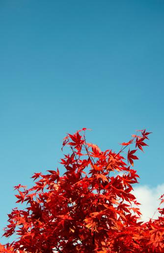 Japanese Maple「Japanese maple (Acer palmatum) in autumn」:スマホ壁紙(18)