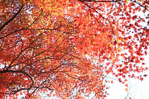 落葉樹「Japanese maple in autumn」:スマホ壁紙(1)