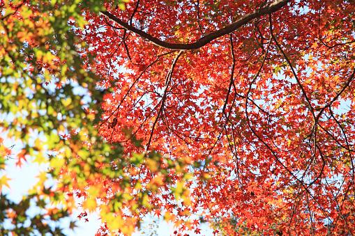 落葉樹「Japanese maple in autumn」:スマホ壁紙(2)