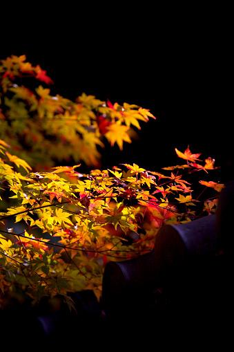 Japanese Maple「Japanese maple in autumn」:スマホ壁紙(2)