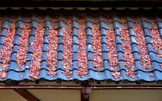 Japanese Maple「Japanese maple tree leaves on rooftop, Osaka Prefecture, Honshu, Japan」:スマホ壁紙(18)