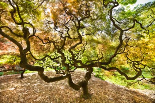 Japanese Maple「Japanese Maple Trees」:スマホ壁紙(0)