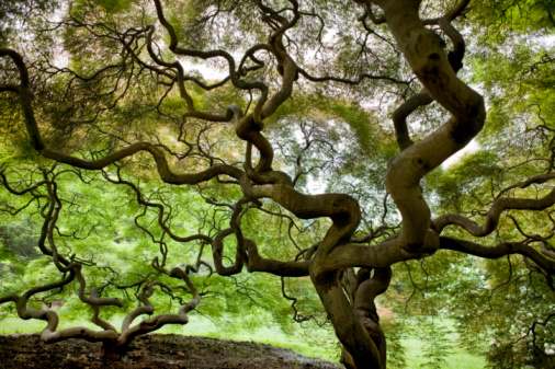 Japanese Maple「Japanese Maple Trees」:スマホ壁紙(10)