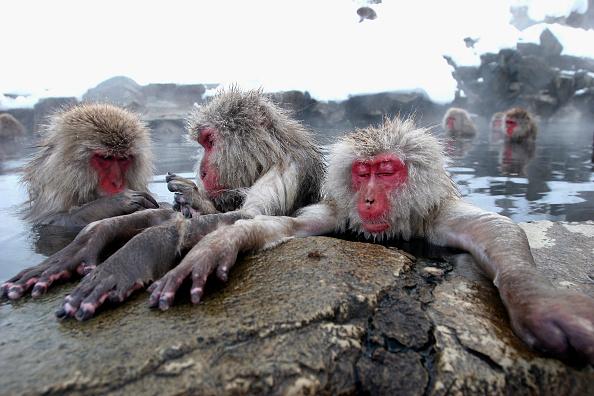 Enjoyment「Japanese Macaques Bathe In Hot Springs」:写真・画像(15)[壁紙.com]