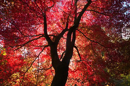 Japanese Maple「Japanese Maple」:スマホ壁紙(6)
