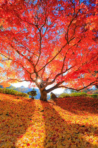Japanese Maple「Japanese maple tree, Nagano Prefecture, Japan」:スマホ壁紙(15)
