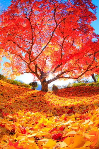 Single Tree「Japanese maple tree, Nagano Prefecture, Japan」:スマホ壁紙(12)