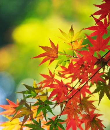 紅葉「イロハモミジの葉」:スマホ壁紙(16)
