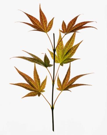 Japanese Maple「Japanese maple leaves」:スマホ壁紙(17)