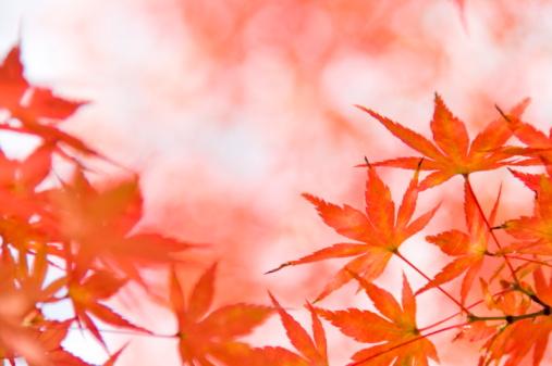 紅葉「Japanese maple leaves」:スマホ壁紙(19)