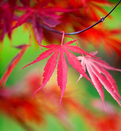 Japanese Maple「Japanese Maple Leaves」:スマホ壁紙(10)