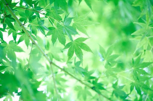 Japanese Maple「Japanese maple leaves」:スマホ壁紙(15)