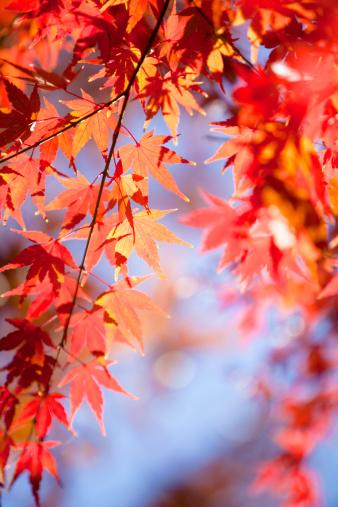 Japanese Maple「Japanese Maple Leaves」:スマホ壁紙(12)