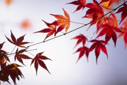 Japanese Maple「Japanese Maple  Leaves」:スマホ壁紙(18)