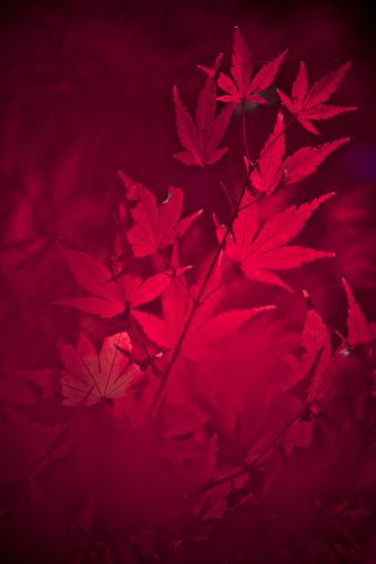 Japanese Maple「Japanese Maple Leaves」:スマホ壁紙(13)