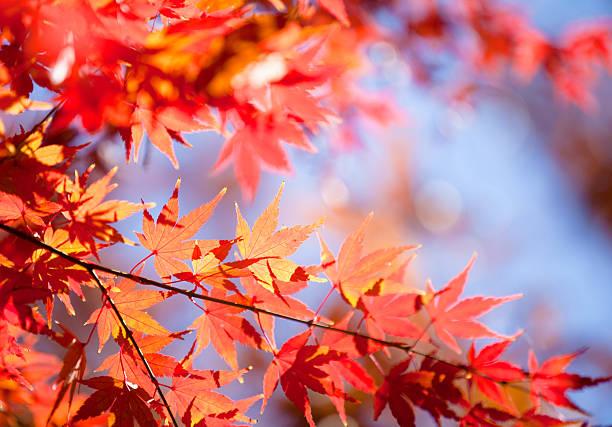 Japanese Maple Leaves:スマホ壁紙(壁紙.com)