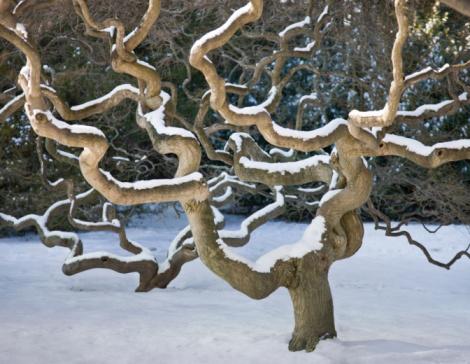 Japanese Maple「Japanese Maple Tree in Winter」:スマホ壁紙(1)