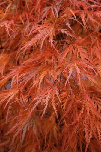 Japanese Maple「Japanese maple foliage」:スマホ壁紙(15)