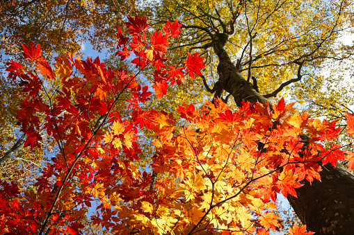 Japanese Maple「Japanese Maple and Fagus crenata Trees」:スマホ壁紙(15)