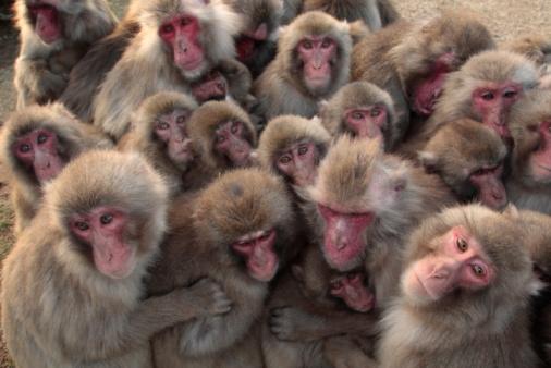 「日本猿 石川」の画像検索結果
