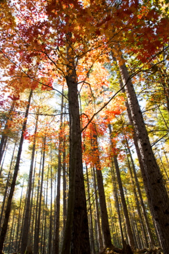 Nikko City「Japanese maple tree among larch forest, Nikko city, Tochigi Prefecture, Honshu, Japan」:スマホ壁紙(7)