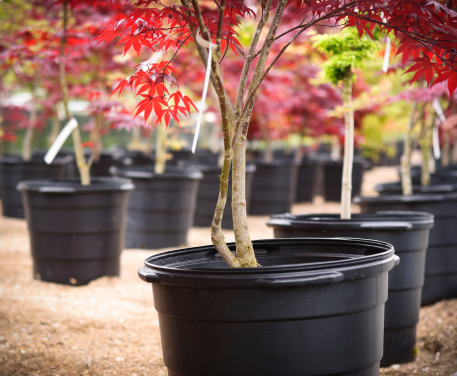 Plant Nursery「Japanese Maple」:スマホ壁紙(12)