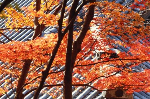 Japanese Maple「Japanese maple tree, Eikan-do Temple, Kyoto Prefecture, Japan」:スマホ壁紙(5)