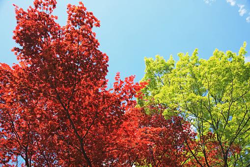Japanese Maple「Japanese Maple, Kyoto」:スマホ壁紙(16)