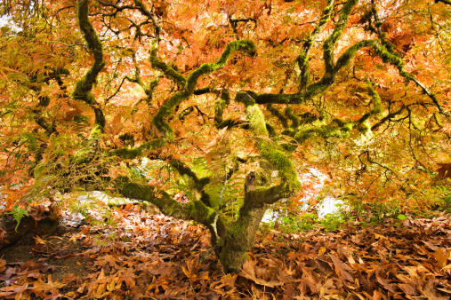 Japanese Maple「Japanese maple with twisted tree trunk」:スマホ壁紙(0)