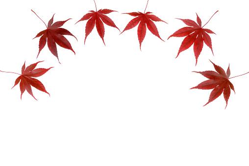 紅葉「Japanese Maple autumn leaves.」:スマホ壁紙(0)