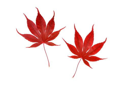 紅葉「Japanese Maple autumn leaves.」:スマホ壁紙(13)
