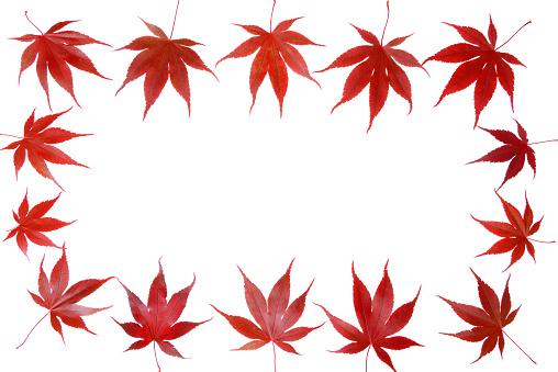 Japanese Maple「Japanese Maple autumn leaves.」:スマホ壁紙(19)