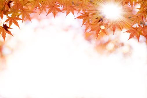 Japanese Maple「Japanese maple tree」:スマホ壁紙(10)