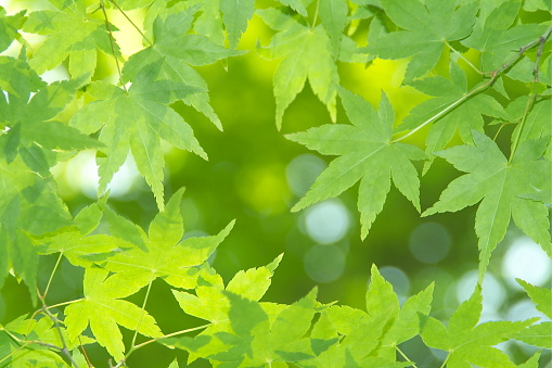 Japanese Maple「Japanese maple tree」:スマホ壁紙(8)