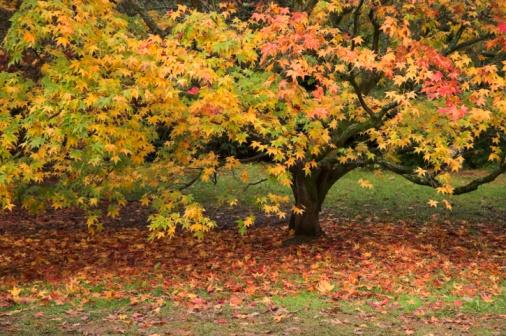 Japanese Maple「Japanese maple tree」:スマホ壁紙(16)