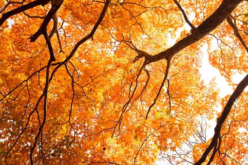 Japanese Maple「Japanese maple tree」:スマホ壁紙(17)