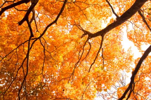 Japanese Maple「Japanese maple tree」:スマホ壁紙(11)