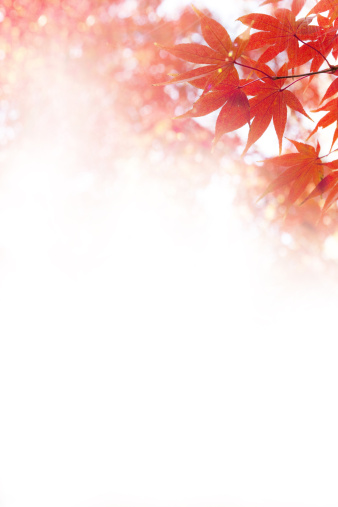 Japanese Maple「Japanese maple tree」:スマホ壁紙(3)