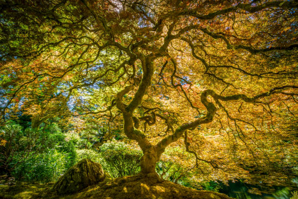 Japanese Maple Tree:スマホ壁紙(壁紙.com)